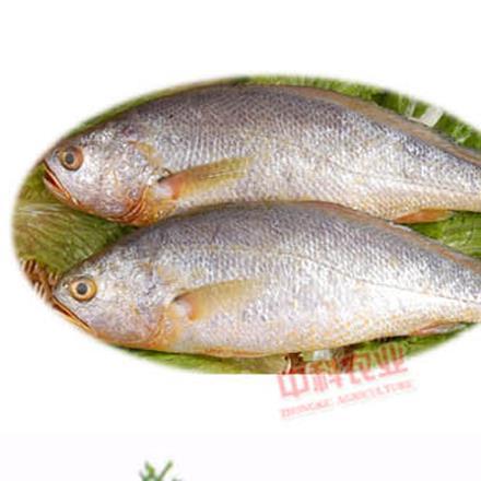【星龍港】深海純野生黃花魚400-500g袋
